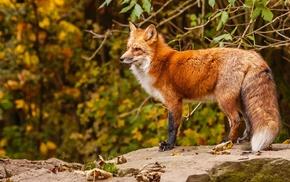 animals, twigs, fox