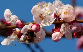 весна, классно, шмель, цветение, вишня
