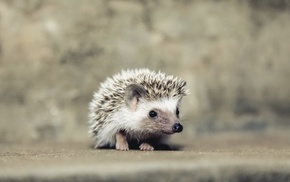 animals, hedgehog