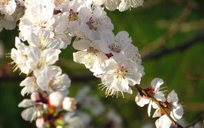 spring, flowers, tree, cherry, greenery