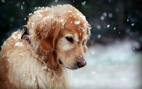 dog, snow, golden retrievers, animals