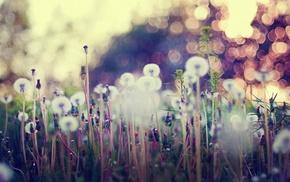 flowers, dandelion, bokeh