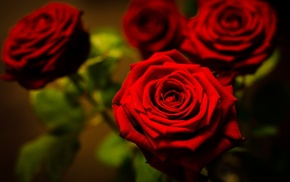 macro, roses, flowers, red, photo