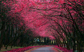 road, flowers, spring, trees, sakura