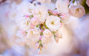 flowers, white background, spring, macro, sakura