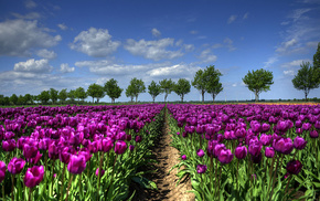spring, tulips, trees, sky, clouds