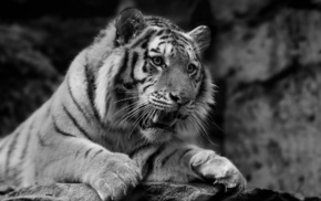 tiger, white background, black, predator, animals