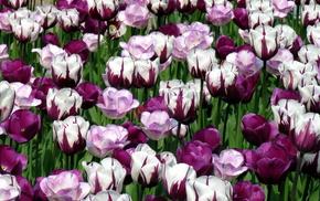 white, tulips, flowers