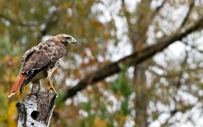 hawks, birds, fall, eagle, animals