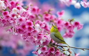 stunner, flowers, cherry, spring, bird