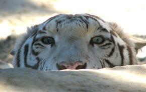 tiger, snow, animals, white tigers