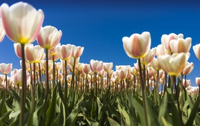 tulips, sky, nature, flowers