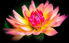 black background, flower, flowers, pink, yellow
