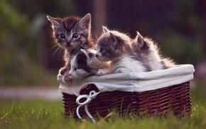 baskets, cat, animals, kittens, grass