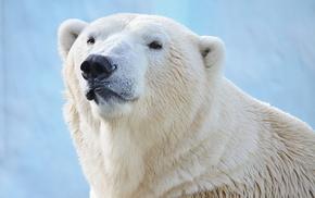 bear, animals, white, predator