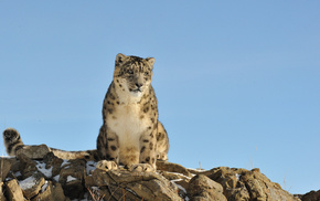 снежный барс, кошка, камни, ирбис, животные, природа