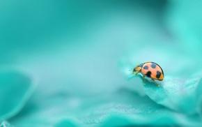 ladybugs, nature, leaves, macro