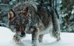 winter, wolf, animals, snow