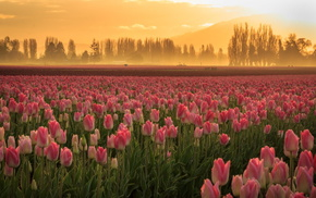 field, tulips, nature, flowers