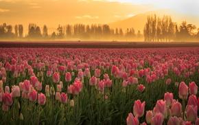 field, tulips, nature, flowers