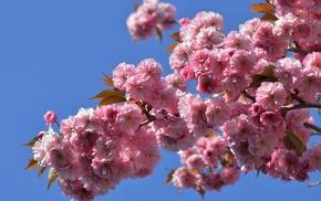 flowers, nature, branch, sakura, spring