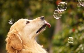 мыльные пузыри, прикольно, язык, уши, морда, Собака