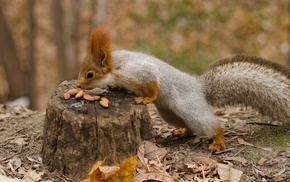 animals, squirrel, tail, autumn, muzzle