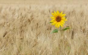 красивые, пшеница, природа, поле, комфорт, красиво