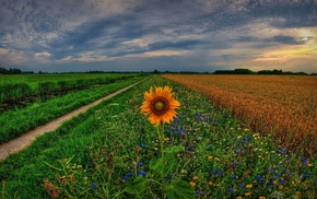 field, sunset, flowers, wheat, nature