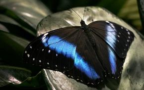 macro, butterfly, black, blue