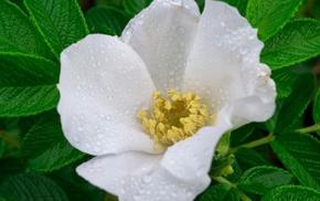 цветы, зелень, вода, капли, белый, листья