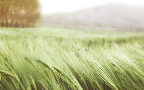 trees, nature, wheat, field, macro