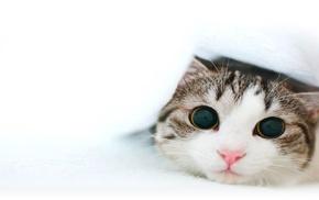 белый фон, белый, минимализм, кот, простой фон