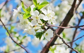 white, cherry, beautiful, flower, Sun
