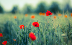 nature, macro, field, poppies, flowers