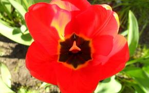 природа, тюльпан, весна, цветы