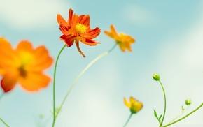 Cosmos flower, nature, flowers, macro