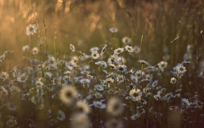 flowers, photo, chamomile, nature, sunset