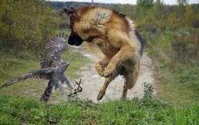 животные, сокол, собака, деревья, красота, овчарка
