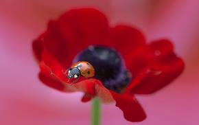 flower, красивые, мак, цветок, макро, poppy