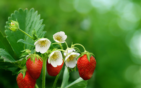 spring, macro, photo, strawberry, flowers