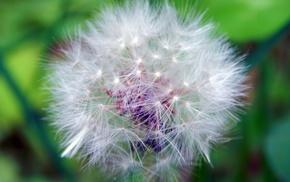 цветок, цветы, Одуванчик