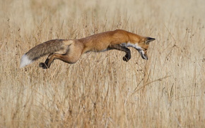 fox, animals, field, bounce