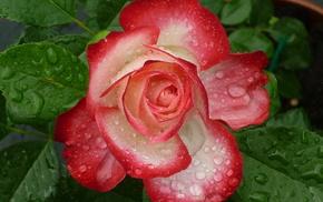 цветы, цветок, капли, роза, вода