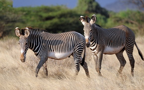 stripes, animals