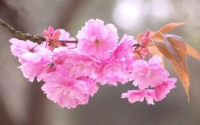 stunner, flowers, sakura