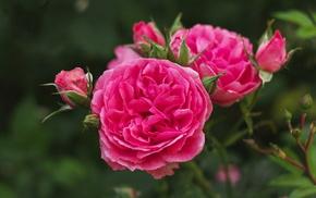 красота, Цветок, роза, цветы