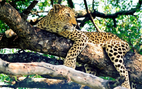 predator, leopard, trees, animals, nature