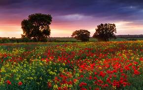 poppies, sunset, field, evening, nature
