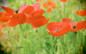 beautiful, poppies, flowers